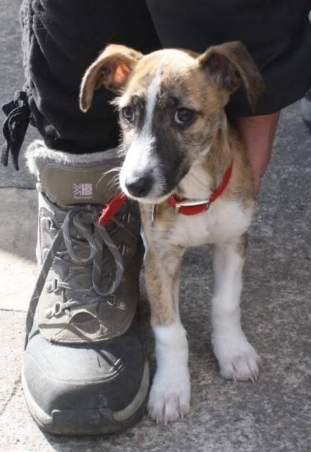 Rosie X Breed fostered by Four Paws Animal Rescue (South Wales)  IMG_6750