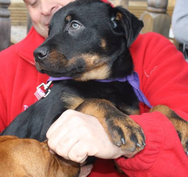 Izzy 14 Week old Rottie being fostered by Four Paws Animal Rescue (South Wales)  IMG_6850