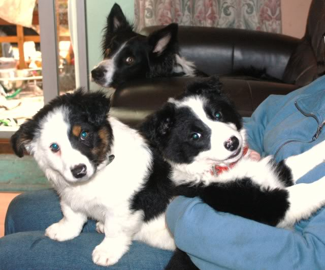 another Cute Puppy alert - Harvey Collie/Terrier X (poss) fostered  by Four Paws Animal Rescue (South Wales) IMG_7662