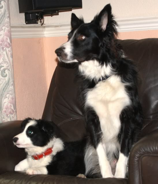 Cute Puppy alert Floss - Collie Terrier X (poss) fostered by Four Paws Animal Rescue (South Wales)  IMG_7668