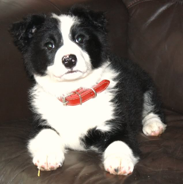Cute Puppy alert Floss - Collie Terrier X (poss) fostered by Four Paws Animal Rescue (South Wales)  IMG_7673