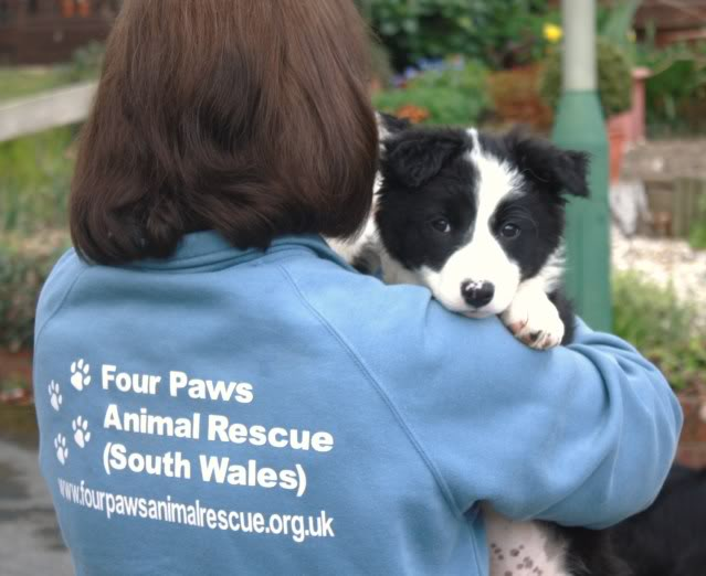 Cute Puppy alert Floss - Collie Terrier X (poss) fostered by Four Paws Animal Rescue (South Wales)  IMG_7674