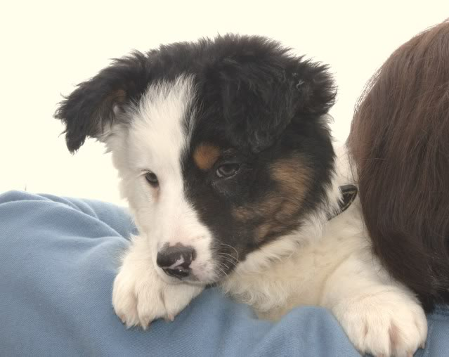 another Cute Puppy alert - Harvey Collie/Terrier X (poss) fostered  by Four Paws Animal Rescue (South Wales) IMG_7683