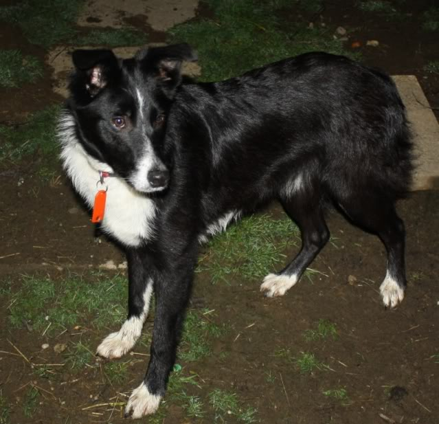 Beth, 6 month old Collie bitch fostered by four Paws Animal Rescue (South Wales)  IMG_9464