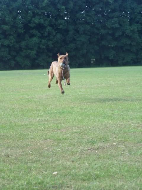 Tiger-lily - Stunning 8 month Collie X Greyhound 007