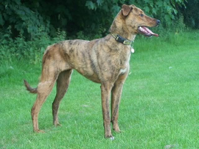 Tiger-lily - Stunning 8 month Collie X Greyhound 012-2