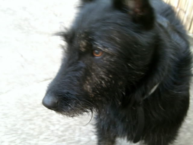 Milo - Beautiful 18 month old Scottish Terrier x 031