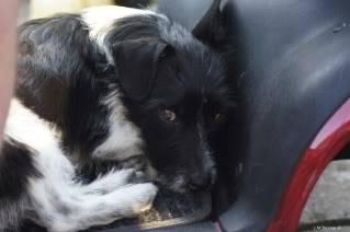 Paxxo - 1 year old Terrier - Fun, loving boy 1