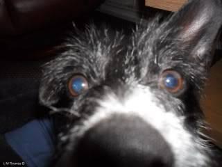 Paxxo - 1 year old Terrier - Fun, loving boy 100