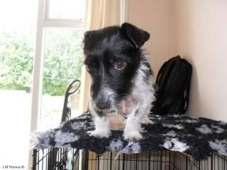 Paxxo - 1 year old Terrier - Fun, loving boy 104