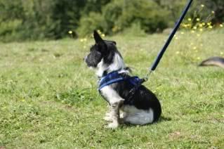 Paxxo - 1 year old Terrier - Fun, loving boy 11