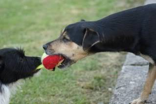 Paxxo - 1 year old Terrier - Fun, loving boy 2