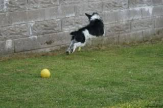 Paxxo - 1 year old Terrier - Fun, loving boy 3