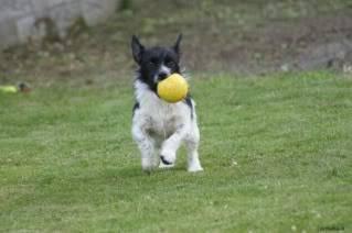 Paxxo - 1 year old Terrier - Fun, loving boy 4