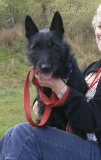 Milo - Beautiful 18 month old Scottish Terrier x 550502_438189319525903_100000045157626_1678472_1535291541_n