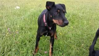 Angela - 8 month old small cross breed - Great with dogs+kids 018-1