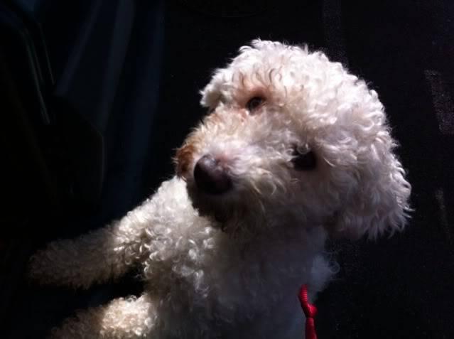Cody - Handsome 3 year old Bichon Frise -  Small dog friendly and loves agility 068BA533-E51D-4B27-9144-84143495BC8E-9380-00000950E42E8850
