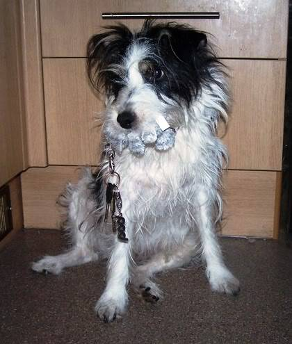 Charlie 7 year old Terrier needs a long term foster home 1002778i