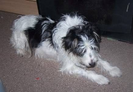 Charlie 7 year old Terrier needs a long term foster home 100_2371