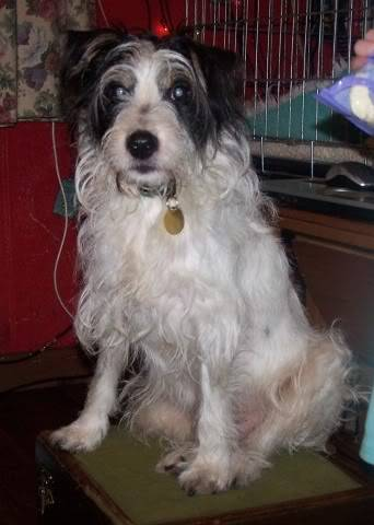 Charlie 7 year old Terrier needs a long term foster home 100_2400