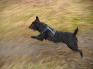 Bosley - 1 year old Patterdale cross - Fun and very friendly young lad 2011_0126dogsrescue0018