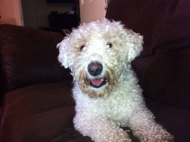 Cody - Handsome 3 year old Bichon Frise -  Small dog friendly and loves agility 3293A073-E04C-4143-9A41-4E82CE5B91FD-9380-00000950D6F99BAE