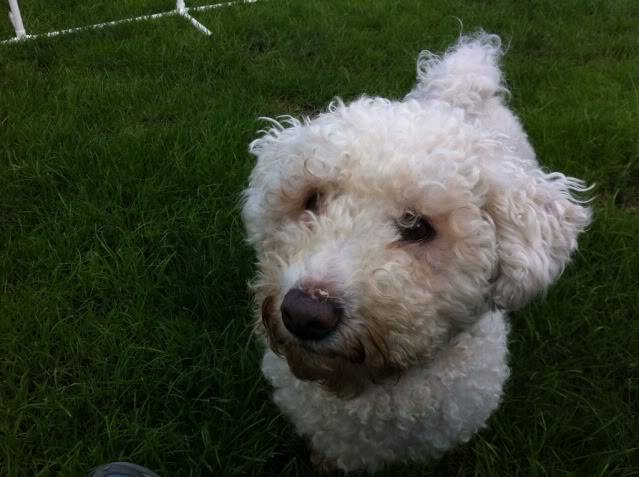 Cody - Handsome 3 year old Bichon Frise -  Small dog friendly and loves agility 5B73448E-085F-4E89-8B32-ADF85A74519D-9380-00000950DD0CBCC7