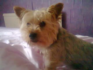 Chaz - 7 year old Miniature Yorkshire Terrier  6090350574_1d8e6dc3f4