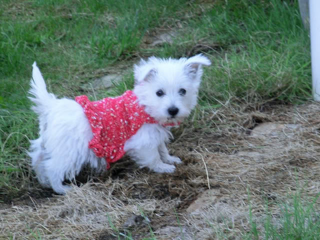 Colleen - 15 week old Westie cross - A very brave little pup. 6219387709_27a1cd649a_z-1