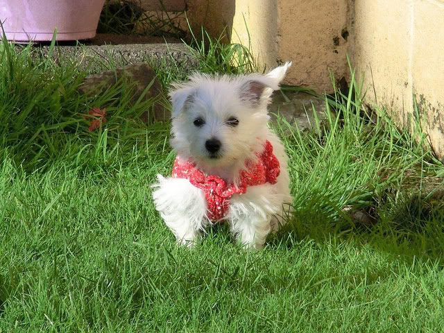 Colleen - 15 week old Westie cross - A very brave little pup. 6219909120_86fb2c655b_z-1