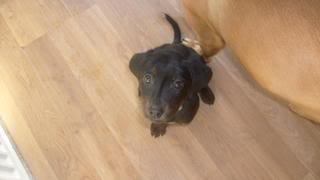 Aston - Chunky 3 month old Labrador cross  Aston09