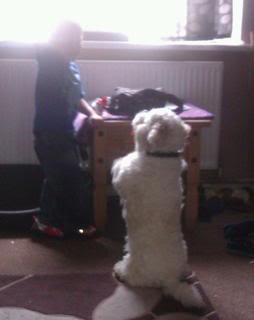 Bailey - 17 month old Westie/Bichon Frise/Cavalier cross - Fostered Berkshire Bailey04-2