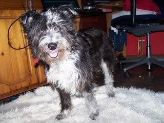 Beauty - Friendly 10 year old Kerry Blue Terrier Cross Beauty02-1