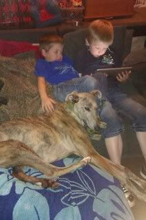 Belle - Stunning 9 month old Lurcher - fostered in Staffs Belle03
