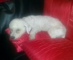 Bobby - 5 year old Bichon Frise - Great with dogs and older kids Bobby01