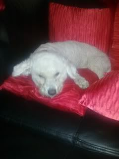 Bobby - 5 year old Bichon Frise - Great with dogs and older kids Bobby02