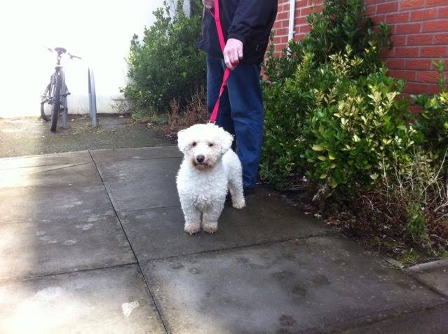 Cody - Handsome 3 year old Bichon Frise -  Small dog friendly and loves agility CDCF6926-3E74-4320-B54F-12CD2381189F-9380-000009516628ADEC