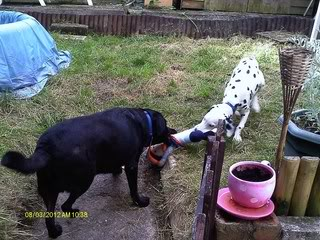 Caesar - 5 month old Dalmatian Pup needs special home Caesar02
