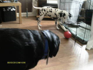 Caesar - 5 month old Dalmatian Pup needs special home Caesar04