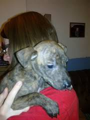 Cuddle - 4 month old whippet mix - good with cats, dogs and kids Cuddle