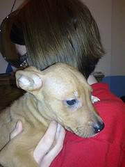 Cwtch - 4 month old Whippet mix - Good with kids, cats and dogs Cwtch