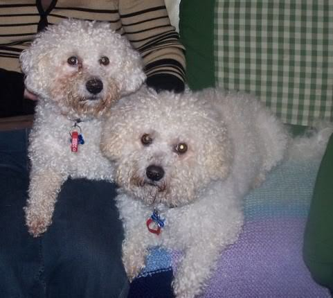 Benji and Oscar - 3 and 5 year old Bichon Frise pair DSC00690