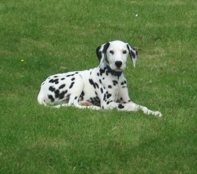 Caesar - 5 month old Dalmatian Pup needs special home DSCF0871
