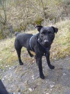 Bosley - 1 year old Patterdale cross - Fun and very friendly young lad Dogs113
