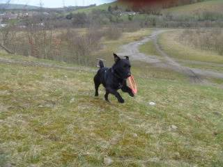 Bosley - 1 year old Patterdale cross - Fun and very friendly young lad Dogs145-1