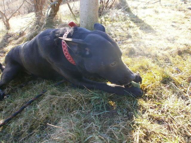 Ben, 4 (ish) years old, Labrador x Heston1cw