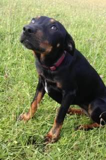 Angela - 8 month old small cross breed - Great with dogs+kids IMAG0146
