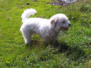 Bailey - 17 month old Westie/Bichon Frise/Cavalier cross - Fostered Berkshire IMG00100-20120805-1621