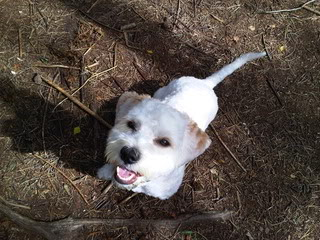 Bailey - 17 month old Westie/Bichon Frise/Cavalier cross - Fostered Berkshire IMG00108-20120811-1428