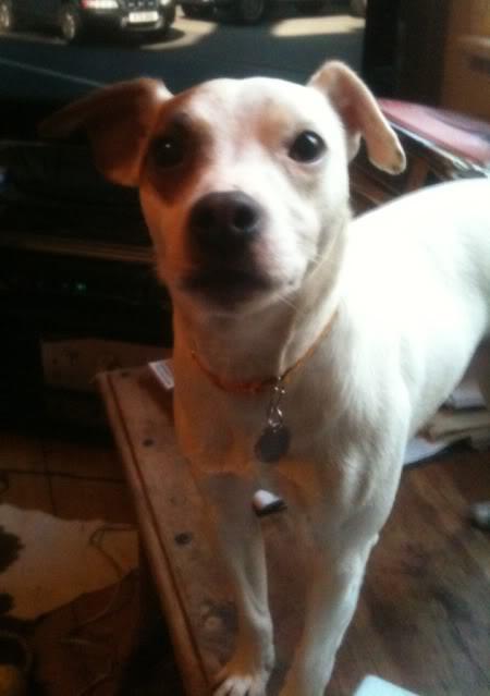 Bertie - 2 year old Parsons Jack Russell Terrier IMG_0388-2